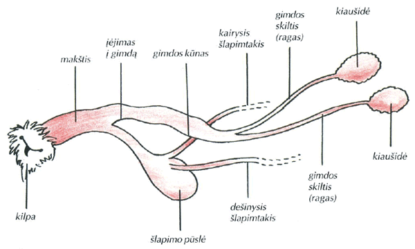 Lytiniu organu gyvunu dydis Padidejes narys del injekcijos