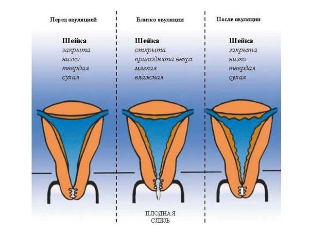 Vyru nario dydis suzadintoje busenoje Normalus galvos svaigimas
