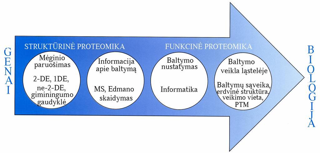 Kaip baltymai turi itakos nario dydi
