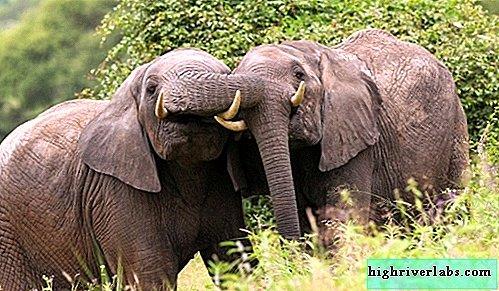 Kas yra dramblio nario dydis